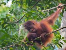 Den fluffiga behandla som ett barn-orangutanget sitter på en filial (Indonesien) Arkivfoton
