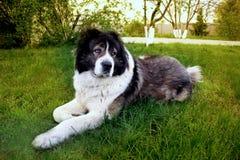 Den fluffiga Caucasian herdehunden ligger på jordningen Vuxen människa Cau Royaltyfri Foto