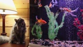 Den fluffiga gråa katten ser fisken i ett akvarium stock video