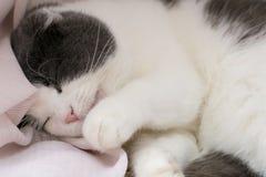 Den fluffiga gulliga katten ligger på fönsterbrädan, slickar henne tafsar och tvättar hennes kropp Royaltyfri Bild