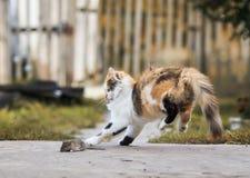 Den fluffiga hemlagade röda katten spelar med fångat grått studsa för mus Royaltyfri Fotografi