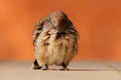 Den fluffiga sebran dök trycka på dess huvud mot dess bröstkorg Royaltyfri Fotografi