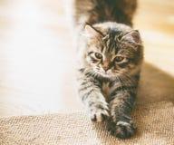 Den fluffiga Siberian kattungen vässar dess jordluckrare arkivbilder