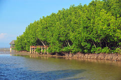 den flyg- mangroveväxten rotar havskusten Arkivbild