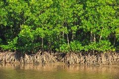 den flyg- mangroveväxten rotar havskusten Fotografering för Bildbyråer