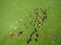 Den flyg- sikten av att beta kor i en flock på en gräsplan betar i sommar Arkivbilder