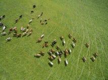 Den flyg- sikten av att beta kor i en flock på en gräsplan betar i sommar Royaltyfria Bilder