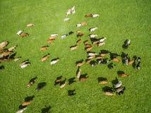 Den flyg- sikten av att beta kor i en flock på en gräsplan betar i sommar Arkivbild