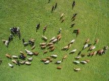 Den flyg- sikten av att beta kor i en flock på en gräsplan betar i sommar Arkivfoto