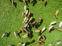 Den flyg- sikten av att beta kor i en flock på en gräsplan betar i sommar Royaltyfri Fotografi