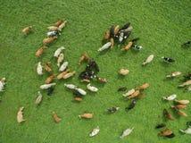 Den flyg- sikten av att beta kor i en flock på en gräsplan betar i sommar Royaltyfri Bild