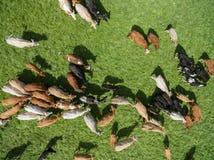 Den flyg- sikten av att beta kor i en flock på en gräsplan betar i sommar Royaltyfri Foto