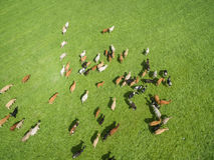 Den flyg- sikten av att beta kor i en flock på en gräsplan betar i sommar Arkivfoton