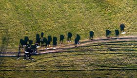 Den flyg- sikten av gruppen av kor på lantligt betar i aftonljus med dramatisk skuggablick som den Salvador Dali bilden royaltyfri bild