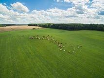 Den flyg- sikten av kor i en flock på en gräsplan betar med molnig blå himmel i sommar Royaltyfri Fotografi