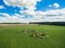 Den flyg- sikten av kor i en flock på en gräsplan betar med molnig blå himmel i sommar Arkivfoto