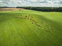 Den flyg- sikten av kor i en flock på en gräsplan betar med molnig blå himmel i sommar Fotografering för Bildbyråer