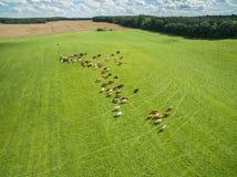 Den flyg- sikten av kor i en flock på en gräsplan betar med molnig blå himmel i sommar Royaltyfria Bilder