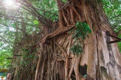 Den forntida buddistkyrkan som omges av trädet, rotar royaltyfri foto
