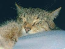 Den fotografiska bilden av en älsklings- kattnärbild med tafsar i förgrunden på en mörk bakgrund Royaltyfria Bilder