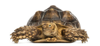 Den främre sikten av en afrikan sporrade sköldpaddan, Geochelonesulcata Arkivbild