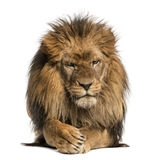 Den främre sikten av ett lejon som ligger som korsar tafsar, PantheraLejonet arkivfoto