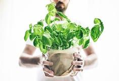 Den främre sikten av maninnehavet lade in den nya gröna basilikaväxten arkivfoto