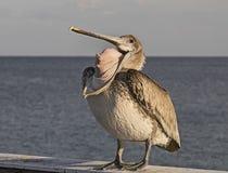 Den framfusiga pelikan slår en brutto poserar royaltyfri foto