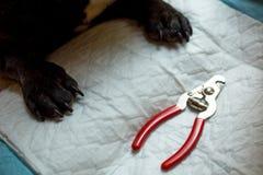 Den franska bulldoggen är på tabellen som är klar för, spikar urklippet djur omsorg, hundmanikyrbegrepp royaltyfria bilder