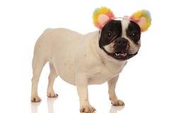 Den franska bulldoggen är upphetsad för hans nya huvudbindel Arkivbild