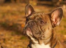 Den franska bulldoggen i höst går fotografering för bildbyråer