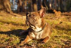 Den franska bulldoggen i höst går royaltyfria bilder
