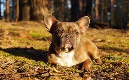 Den franska bulldoggen i höst går arkivbild