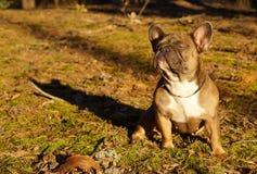 Den franska bulldoggen i höst går royaltyfri bild
