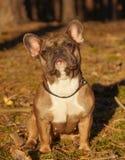 Den franska bulldoggen i höst går royaltyfri fotografi