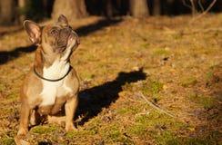Den franska bulldoggen i höst går royaltyfria foton