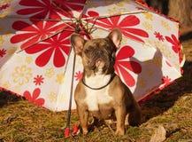 Den franska bulldoggen i höst går arkivfoto