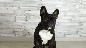 Den franska bulldoggen nickar hans huvud lager videofilmer