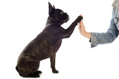 Den franska bulldoggen och tafsar Royaltyfria Foton