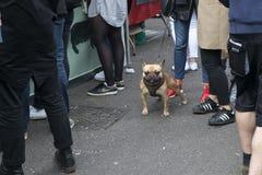 Den franska bulldoggen står på trottoaren som vänder mot kameran, in - mellan benen av hans ägare Arkivfoto