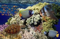 Den färgrika korallreven med många fiskar och havssköldpaddan Röda havet Eg. Royaltyfria Foton