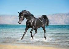Den fria svarta arabiska hästen kör ho färgstänken av vatten Royaltyfri Foto
