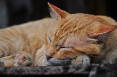 Den fridsamma orange röda strimmig kattkatten krullade upp att sova fotografering för bildbyråer