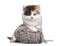 Den främre sikten av en höglands- rak kattunge som spelar med en ull, klumpa ihop sig Royaltyfri Foto