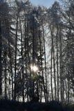 Den Frostbitten raden av trädlärkträd, träden skiner solen, blå himmel Arkivbild