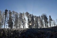 Den Frostbitten raden av trädlärkträd, träden skiner solen, blå himmel Royaltyfri Bild