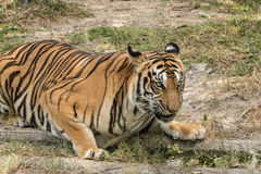 Den fruktansvärda våldsamma tigern Royaltyfria Bilder