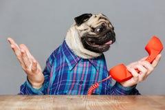 Den förvirrade mopshunden med mannen räcker den hållande röda telefonmottagaren Arkivbilder
