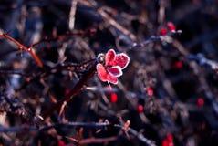 den fryste hösten låter vara red Fotografering för Bildbyråer