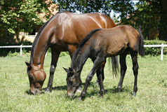 Den fullblods- stoen och fölet betar in följande moder Royaltyfri Fotografi